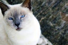 Widzię Ciebie: Błękitnooki Syjamski Obrazy Stock