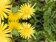 Widzieć Dwoistego Żółtego Dandelion Kwitnąć obraz stock