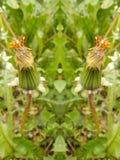 Widzieć kopia kwiatu zmarniałych pączki fotografia royalty free