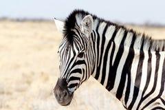 Widzieć lampas zebry Burchell zebra, Equus kwaga burchellii Obrazy Royalty Free
