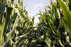 widzieć kukurydzana ziemia Obraz Royalty Free