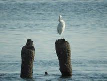 Widzii ptasiego obsiadanie na rdzewiejącym dennym słupie w morzu dalekim fotografia stock