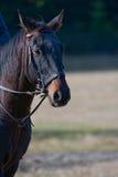 wieś czarny koń Zdjęcia Royalty Free