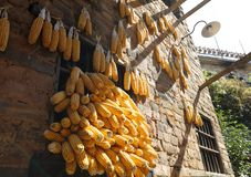 Wieśniacy suszy kukurudzy, adobe rgb zdjęcie royalty free