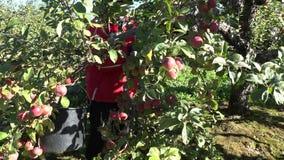 Wie?niak kobiety wyboru jab?ka w sadzie 4K zbiory
