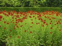 Wieśniaka karła kwiat 1 Obraz Royalty Free