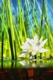Wie die Wasserlilie wachsen Lizenzfreie Stockfotos