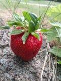 Wie diese Frucht Stockbilder