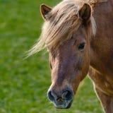 Wie Donald Trump för Pferd siehtaus royaltyfria bilder