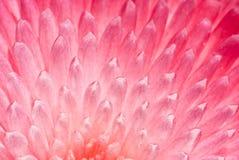 Wie Edelsteine (die Blumenblätter von einem Settembrina) Lizenzfreie Stockfotos