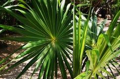 Wie ein Feuerrad lockern die Blätter dieses gesunden zwergartigen Palmetto in allen Richtungen auf - Mexiko lizenzfreies stockbild