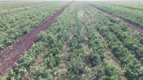 Wie Gemüse auf dem Feld wächst Tomaten, Zucchini, Gurken, Auberginen, Kartoffeln wachsen auf den Gebieten landwirtschaftlich stock video footage