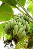 Wie man Bananen anbaut lizenzfreies stockbild