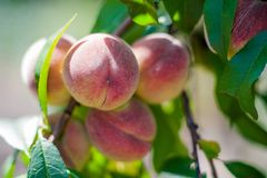 Wie man Pfirsiche auf einem Baum im Garten anbaut Reife saftige Pfirsiche im Garten, arbeitend im Garten Stockbild