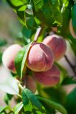 Wie man Pfirsiche auf einem Baum im Garten anbaut Reife saftige Pfirsiche im Garten, arbeitend im Garten Stockfoto