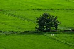 Wieś ryż Zieleni pola Zdjęcie Stock