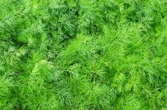 ?wie?y zielony koperu zako?czenie up w naturze obraz royalty free