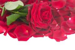Świeża ciemnopąsowej czerwieni róża z płatek granicą Obraz Stock