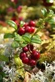 świeża cranberries czerwień Obraz Stock