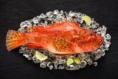 Świeża skorpion ryba na lodzie na czarnym kamienia stole Obrazy Royalty Free