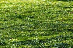 Świeża Zielona trawa Zdjęcie Royalty Free