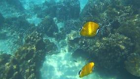 Wiebeli chaetodon рыб бабочки Гонконга подводное сток-видео