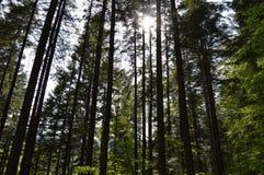 Świecenie las Obraz Royalty Free