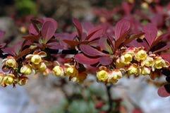 świeci berberis rose thunbergii Fotografia Royalty Free