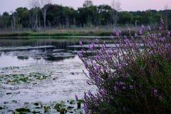 Wieczór Jeziorna scena z Purpurowymi kwiatami Obrazy Royalty Free