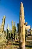 wieczór kaktusowi wartownicy Fotografia Stock
