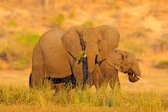 Wieczór słońce w Afryka Słonia odprowadzenie w wodzie z żółtą i zieloną trawą, Duży zwierzę w natury siedlisku, Chobe zmierzch, B Zdjęcia Royalty Free