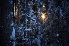 Wieczór w ciemnym lesie, boże narodzenia Słońce promienie w zmroku Nowy rok, zakrywający w śniegu Świerkowe drzewo sosny zakrywać Obraz Stock