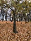 Wieczór w jesień parku Drzewa w złotym ulistnieniu Ramenskoe Obraz Stock