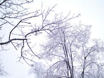 Wieczór widok z drzewa w pierwszy śniegu na popielatym niebie Fotografia Royalty Free