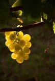 wieczór winogron światło Zdjęcia Royalty Free