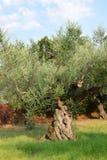 Wiecznie drzewo oliwne Zdjęcie Stock