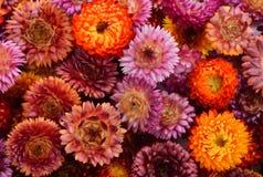 Wiecznotrwały kwiat, wiele koloru kwiatu suchy tło Obraz Stock