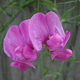Wiecznotrwały Słodkiego grochu kwiat Zdjęcie Royalty Free