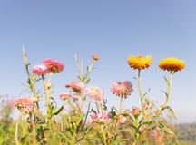 Wiecznotrwałego kwiatu pole Obrazy Royalty Free