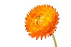 wiecznotrwali kwiaty Zdjęcie Stock