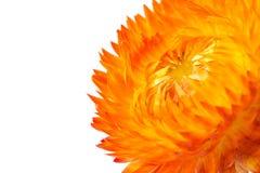 wiecznotrwali kwiaty Fotografia Stock