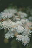 Wiecznozielona błękitna świerczyny gałąź na natury ostrości miękkim tle zdjęcie stock