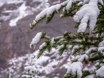 Wiecznozielona gałąź z śniegiem i lodem Zdjęcia Royalty Free