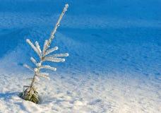 Wiecznozielona roślina w zimie Zdjęcie Royalty Free