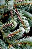 wiecznozielone conifer igły zdjęcia stock