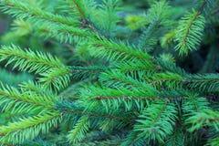Wiecznozielone gałąź jodła z nowym r rozgałęzienia tłem zdjęcie royalty free