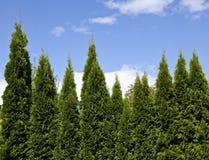 wiecznozieloni drzewa Obrazy Stock