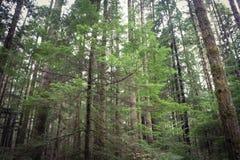wiecznozieloni drzewa obraz royalty free