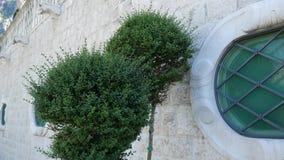 Wiecznozieloni drzewa i krzaka Buxus, wolno r Flory Monte zdjęcie wideo