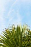 Wiecznozieloni jukki drzewa liście przeciw niebieskiemu niebu Obraz Stock